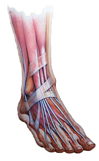 Muscles in the human foot