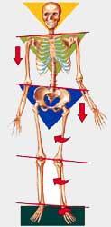 skeletal diagram orthotic support